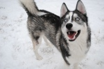 Happy_Husky_Pup_by_prncsstffny