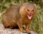 mongoose 2